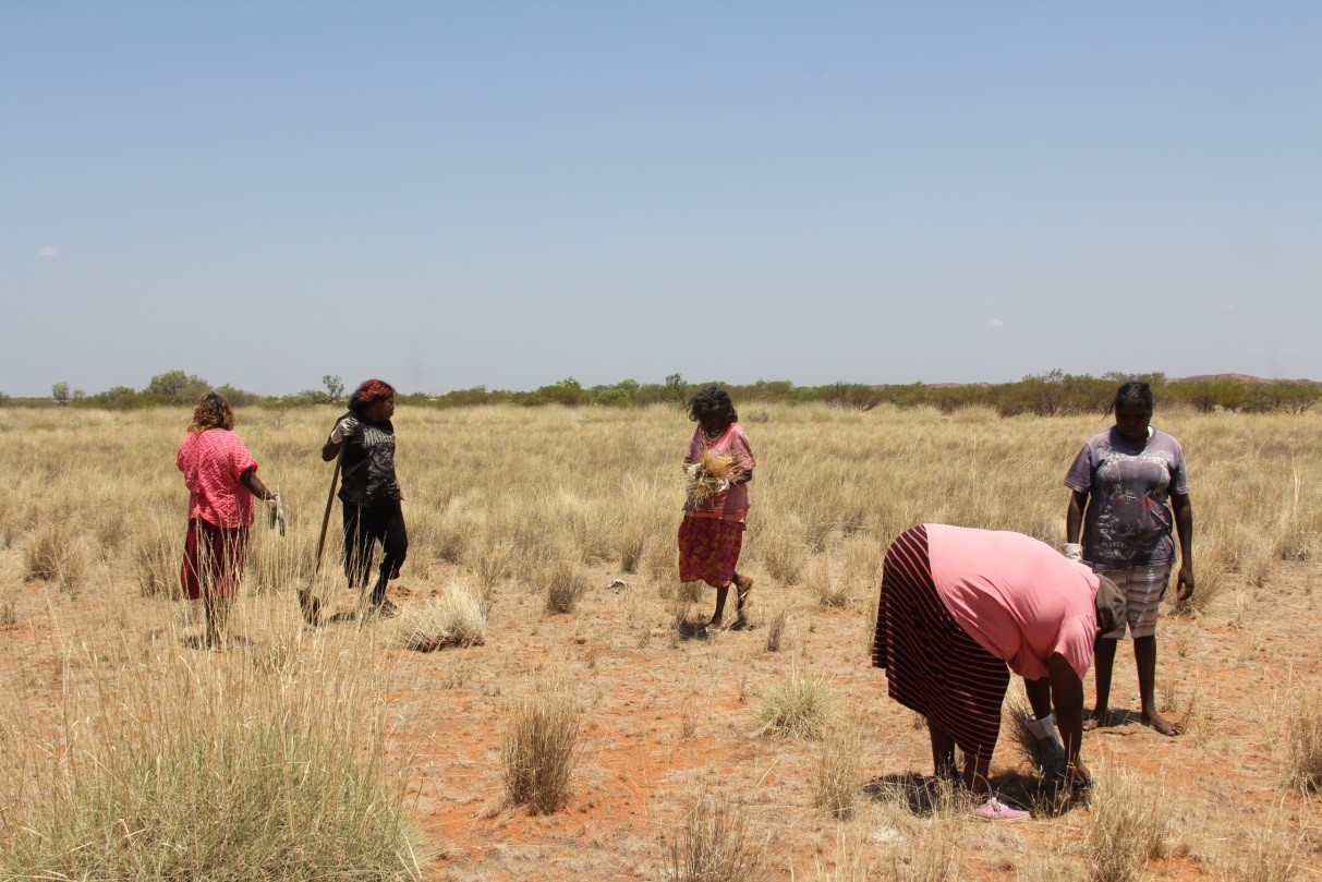 From left to right, Monica, Vivianne, Lily, Valerie and Marilyn collecting Spinifex grasses for weaving
